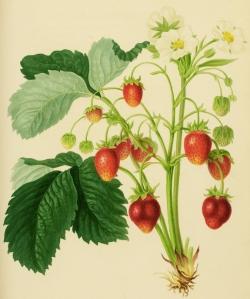 Strawberry plant 1